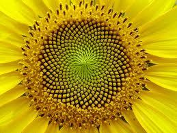 Girasole - Sequenza Fibonacci